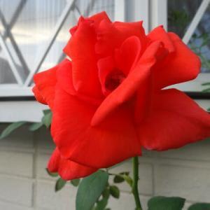 秋の季節~薔薇が咲き、メキシカンセージが咲き・・・