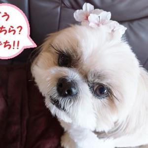 レイ家の桜、満開で地ち!!桜の妖精第2弾🌸