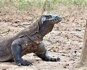 コモドクルーズ・コモド島とコモドドラゴン