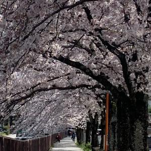 京都…近くの川沿いは桜のトンネル