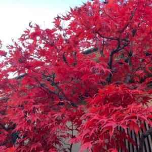 我が家の紅葉は今が見頃