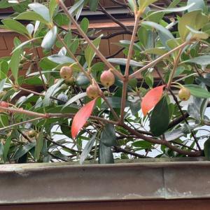 モッコクの実…目で確かめる季節の移ろい