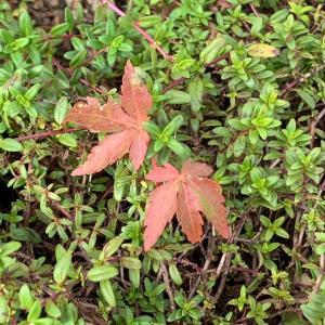 小さな紅葉と朝抹茶