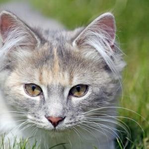 ネコの耳毛