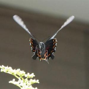 クロアゲハの飛翔