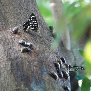 東京の公園にもいた甲虫やチョウ