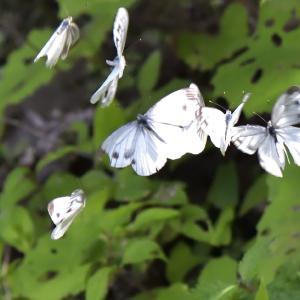 ◆今季初のユリ。7頭の蝶々も(市原市)