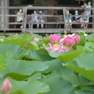 ◆千葉公園の大賀ハス(千葉市)