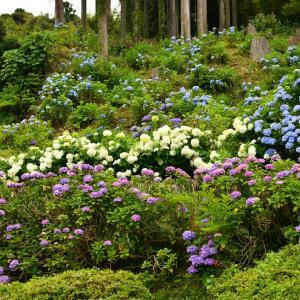 ◆八幡神社・妙提寺(みょうだいじ)の紫陽花(勝浦市)