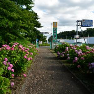 ◆「あずの里いちはら」で紫陽花・ウキツリボク(市原市)
