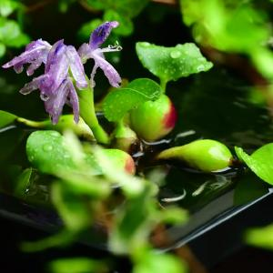 ◆大雨の朝、ホテイアオイが開花