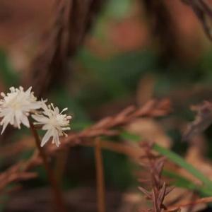セリバオウレン開花