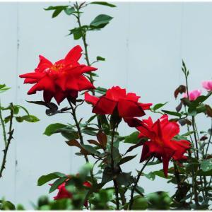 バラが咲いている