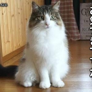 モフ度で季節を告げる猫