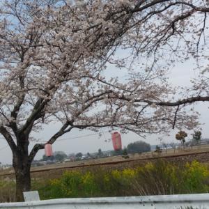 桜咲く(*^^*)