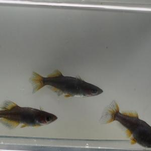 オロチ光体型 黄金ヒレ系 冬の繁殖