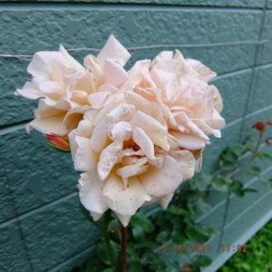 芳香四季咲き