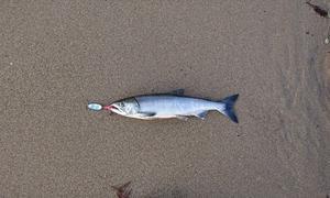 2019鮭釣り