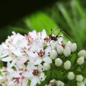 雨上がりの朝、アシグロツユムシの幼虫がいた