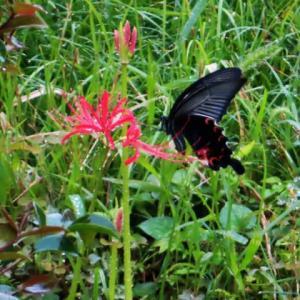 雨の中で花をめぐるアゲハチョウ