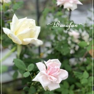 バラの肥料作りは大変です!