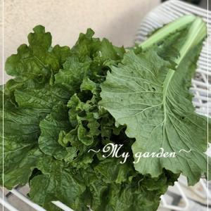 タケノコ白菜?今年初めて作ってみました!
