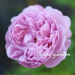 秋バラのこっくりとした色合いの魅力♡Part~2