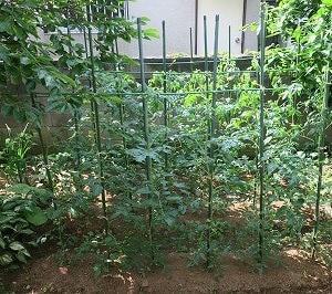 家庭菜園でトマトの栽培日記(4)