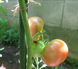 ようやく収穫期か「家庭菜園のトマト栽培日記」(その6)