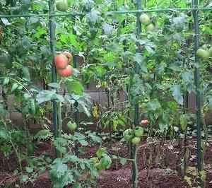 家庭菜園でトマトの栽培日記(その7)