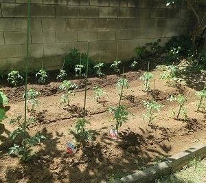 2021年のトマトを植える