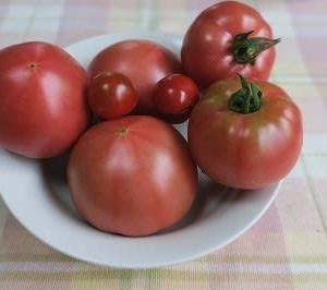 家庭菜園のトマト栽培(その4)