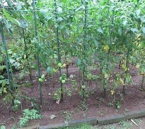 家庭菜園のトマト栽培(その5)