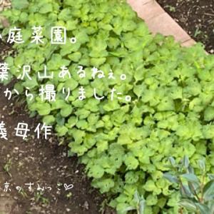 小庭畑で収穫ぅ。