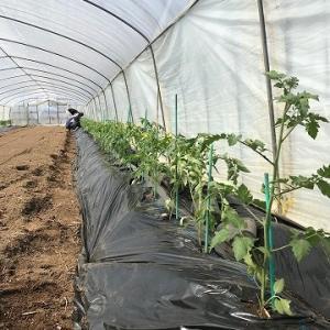 令和2年のトマトの定植♪