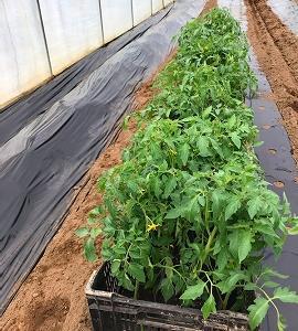 令和3年、家庭菜園の『トマト定植』
