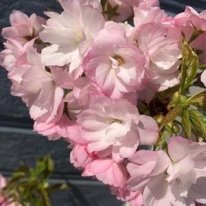 大山農園の「桜の盆栽」!