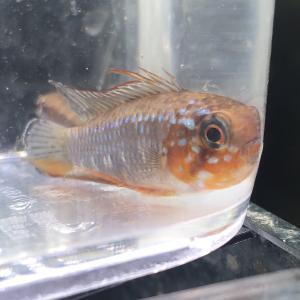 鰭赤産卵リセットからのムーン〜AP.エリザベサエF1
