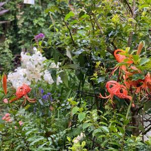 長雨に強いバラとお庭の様子