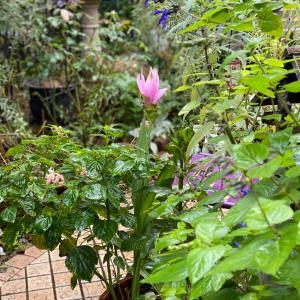 クルクマ シャロームの開花とミシェルの病院
