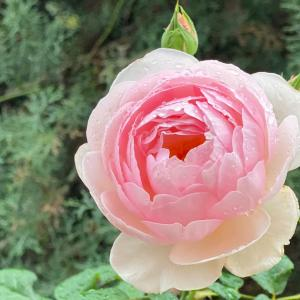 雨粒が美しいバラ
