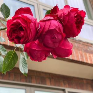 バラがまだ咲いています(*^^*)