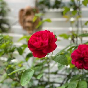 今咲くバラと宿根草