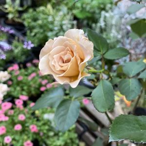 バラの2番花に癒されます