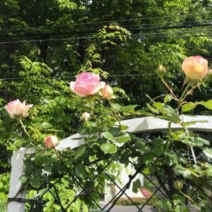 今日の薔薇Ⅱ