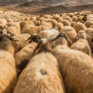 羊かやぎか? プロテスタントを分ける二つの潮流