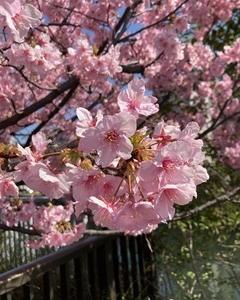 河津桜とプリン