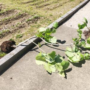 こんな時こそやる気UP◎遂に手を付けた観葉植物の植え替え作業!