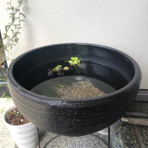 【メダカ日記】孵化から17日目。睡蓮鉢に放流しました。