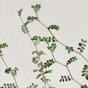 お気に入りのグリーンの植え替え。
